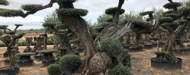 cuidados olivo