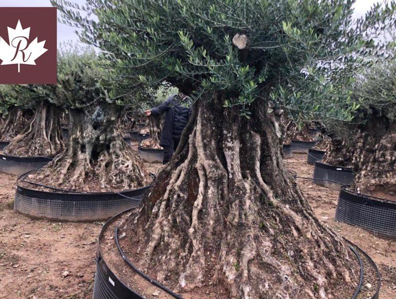 El olivo, la planta de moda