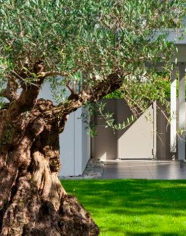 Razones para tener un árbol de olivo