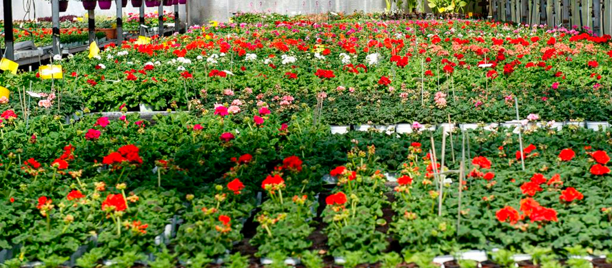 Elige una planta en un centro de jardinería